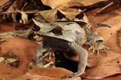 Malayan Leaf Frog – Megophrys nasuta royalty free stock images