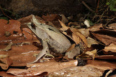 Malayan nasuta Megophrys βατράχων â φύλλων Στοκ Εικόνες