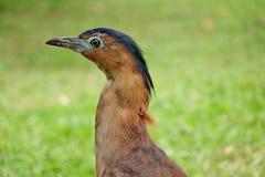 Malayan Night Heron. Isolated on green meadow Royalty Free Stock Photos