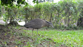 Malayan night heron juvenile hunting, scientific name Gorsachius melanolophus stock video