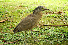 Malayan Night Heron. Standing on the grass Stock Photography