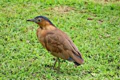 Malayan Night Heron. Standing on the grass Stock Photos