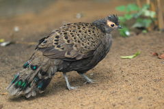 Malayan peacock-pheasant royalty free stock images