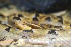 Malayan Pit Viper Stock Image