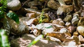 Malayan Pit-viper Camouflage. Evergreen Forest Phlio Waterfalls Phlio National Parks Chanthaburi Thailand royalty free stock photos