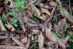 Malayan pit viper. On dried leaf stock photography