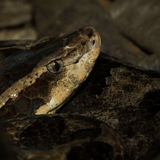Malayan Pit Viper Snake Royalty Free Stock Photos