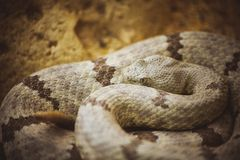 Malayan Pit Viper Snake on sand Stock Photography