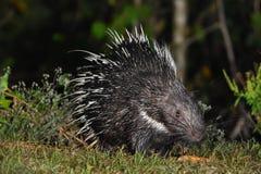 Malayan porcupine Στοκ Εικόνα