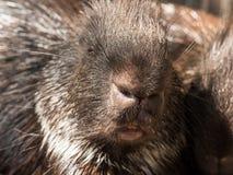 Malayan porcupine closeup face Stock Image