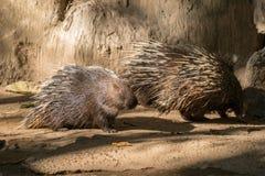 Malayan porcupine, himalayan porcupine Royalty Free Stock Images