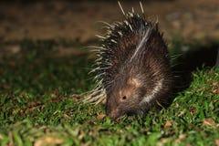 Malayan porcupine. (Hystrix brachyura) in nature at night Stock Images