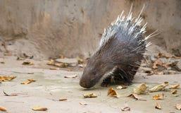 Malayan porcupine, porcupine Himalayan, μεγάλο porcupine Στοκ φωτογραφία με δικαίωμα ελεύθερης χρήσης