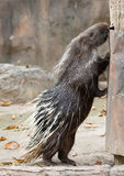 Malayan porcupine, porcupine Himalayan, μεγάλο porcupine Στοκ Εικόνα