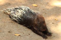 Malayan porcupine Stock Photos