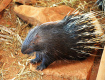 Malayan porcupine Royalty Free Stock Images