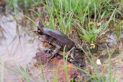 Malayan Rogata żaba obrazy stock