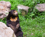 Malayan słońca niedźwiadkowy lub miodowy niedźwiedź w kotelnia sezonie Obrazy Royalty Free
