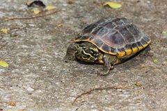 Malayan snail-eating turtle Stock Images