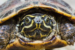 Malayan snail-eating turtle. Close up of Malayan snail-eating turtle or rice field terrapin Stock Photography