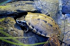 Malayan snail-eating turtle, Malayemys macrocephala. The Malayan snail-eating turtle Malayemys macrocephala is a species of turtle in Malayemys genus of the royalty free stock photo