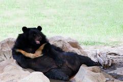 Malayan solbjörn som ligger på jordning i zoobruk för zoologidjur och löst liv i naturskog Arkivbilder