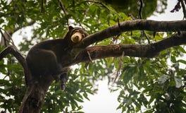 Malayan solbjörn som ser lynnig och trött, Sepilok, Borneo, Malaysia royaltyfri foto