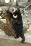 Malayan solig färg för mörk brunt för björn med det vita bröstet arkivbilder