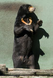 Malayan Sun Bear. With  a picture-shaped V  on the chest Stock Images