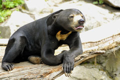 Malayan Sun Bear. Is snuffing Royalty Free Stock Photo