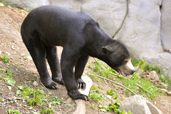 Malayan Sun Bear. Istands and looks around Royalty Free Stock Image