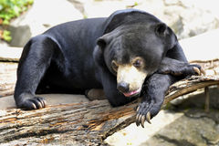 Malayan Sun Bear. Is resting and boring Royalty Free Stock Images