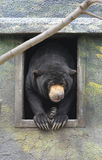 Malayan Sun Bear. Is sitting in the window and looking around Stock Photo