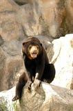 Malayan Sun Bear Royalty Free Stock Image