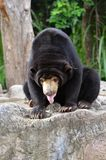 Malayan sun bear Royalty Free Stock Image