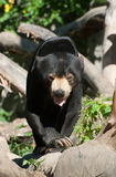 Malayan Sun Bear. Is walking on the wood Royalty Free Stock Image