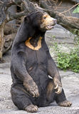 Malayan sun bear 3 Royalty Free Stock Photos