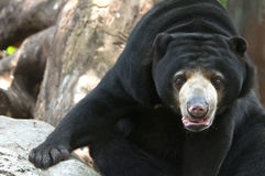 Malayan sun bear Royalty Free Stock Images