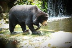 Malayan Sun Bear Royalty Free Stock Photos