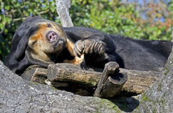 Malayan sun bear 4 Royalty Free Stock Image