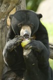 Sun bear eating food Royalty Free Stock Photography