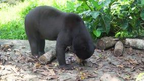 Malayan sun bear. Bali,Indonesia. Malayan sun bear, Honey bear,Ursus malayanus, Helarctos malayanus. Bali Indonesia stock video footage