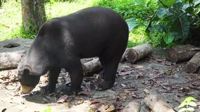 Malayan sun bear. Bali,Indonesia. Malayan sun bear, Honey bear,Ursus malayanus, Helarctos malayanus. Bali Indonesia stock footage