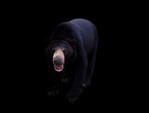 Malayan sun bear  in dark background Royalty Free Stock Photo