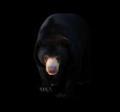 Malayan sun bear  in dark background Stock Photo