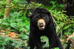 Malayan Sun Bear. A Sun Bear front view Stock Photography
