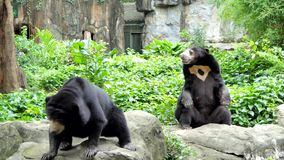 Malayan Sun Bear have habitats in tropical forest of Southeast Asia. Malayan Sun Bear Helarctos malayanus is also known as the honey bear, have habitats in stock video