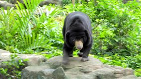 Malayan Sun Bear have habitats in tropical forest of Southeast Asia. Malayan Sun Bear Helarctos malayanus is also known as the honey bear, have habitats in stock video footage