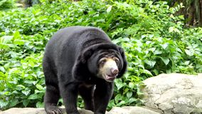 Malayan Sun Bear have habitats in tropical forest of Southeast Asia. Malayan Sun Bear Helarctos malayanus is also known as the honey bear, have habitats in stock footage