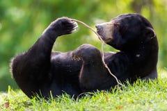 Malayan sun bear (Helarctos malayanus) Royalty Free Stock Image